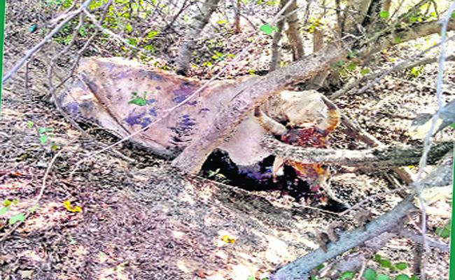 Tiger Attack On Cow In Mulugu District Forest Area - Sakshi