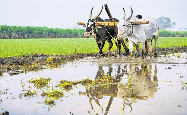 Agriculture With Bullock Till Now In Prakasam District - Sakshi