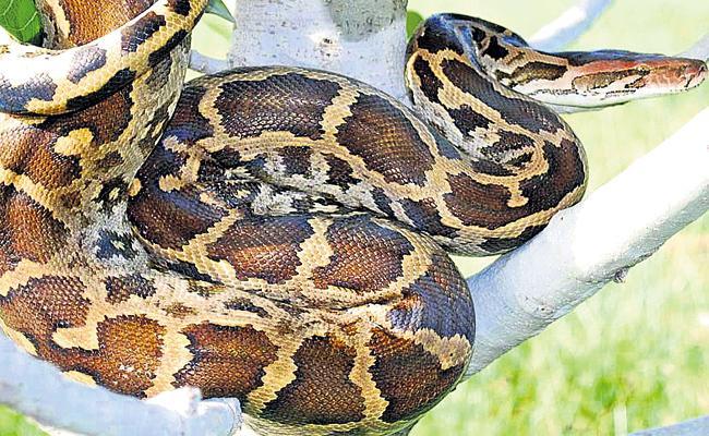 Endangered pythons - Sakshi