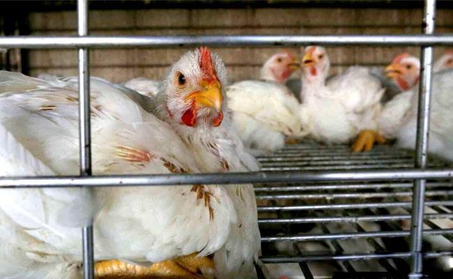 Bird Flu NDMC Banned Sales Of Chicken Delhi - Sakshi