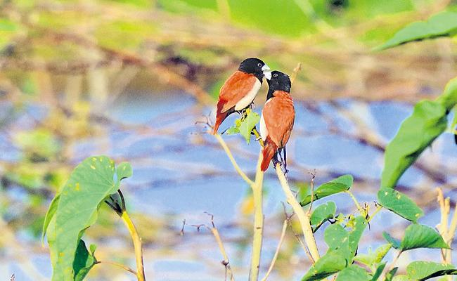New bird species in the vicinity of Vijayawada are attracting bird lovers - Sakshi