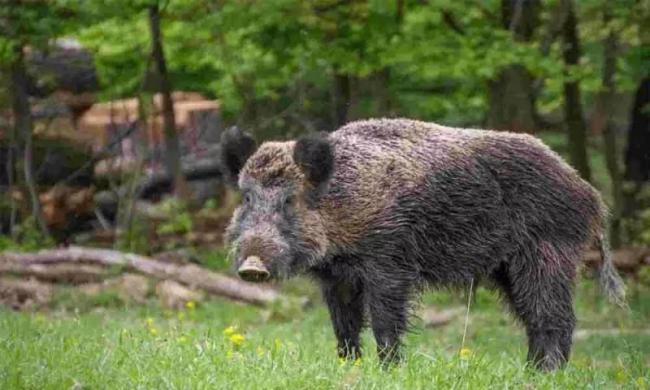 Telangana Government Issued Sarpanch Has Power To Kill Wild Boar - Sakshi