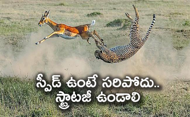 Cheetah Fails While Catching Impala - Sakshi