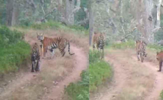 Tourists On Safari Saw Three Tigers At Once - Sakshi