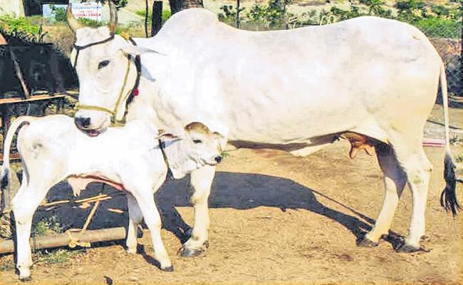 Organic indigenous cow breeding fields in AP - Sakshi