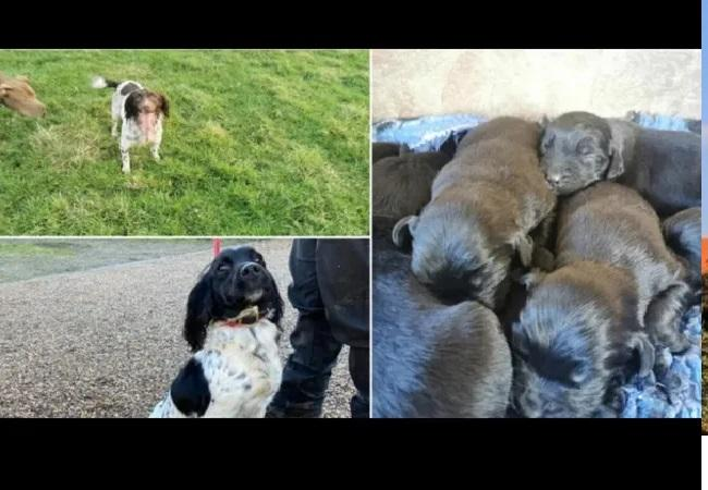 UK Man Find His Lost Spaniels Tracks Down 70 Stolen Dogs - Sakshi