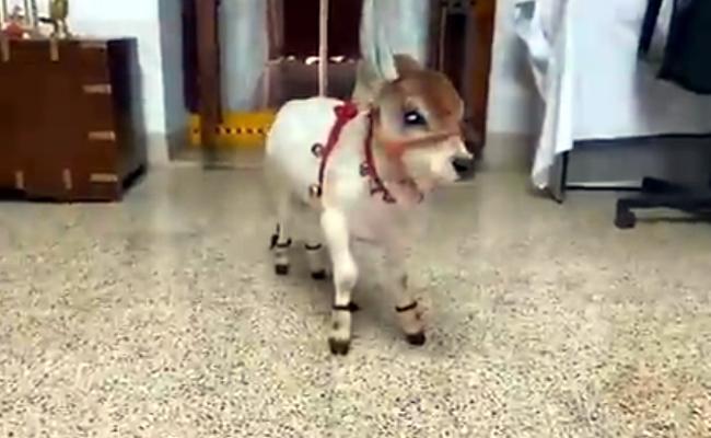 AP: Punganur Cute Cow Baby Video Viral On Social Media - Sakshi