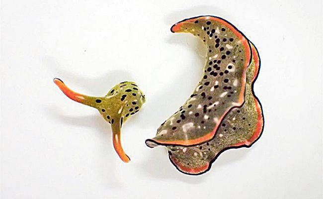 Sea Snail Belonging To Genus Sacoglossan Build Their Body Own - Sakshi