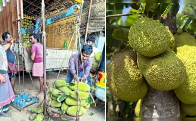 JackFruit Exports From Uddanam Srikakulam To North States - Sakshi