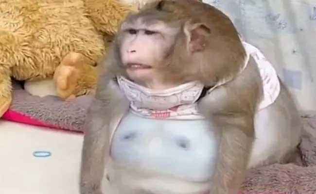 This Monkey Becomes Severely Obese After Overfed Junk food In Bangkok - Sakshi
