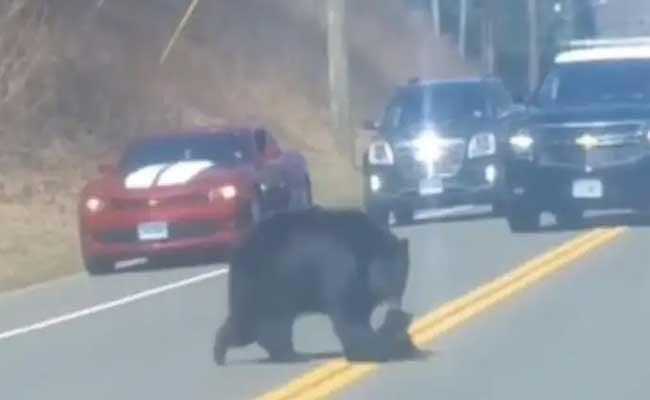 Viral: Mother Bear Struggles To Cross Busy Road With Her Cubs - Sakshi
