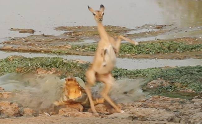 Impala Narrowly Escaped From Crocodile In South Africa - Sakshi