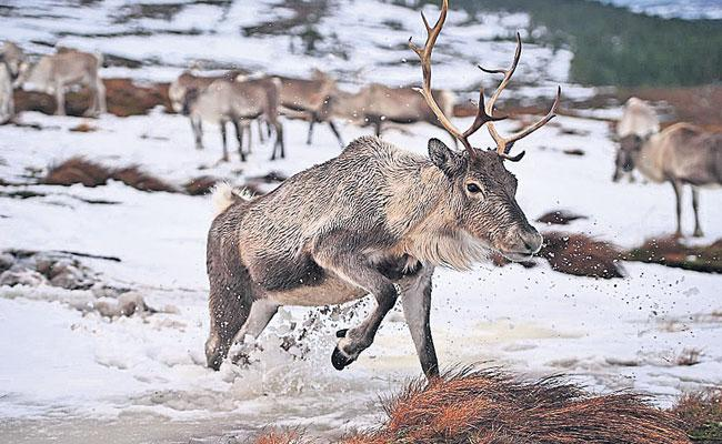 Scandinavian Countries Reindeer Milk Nutrition: Donkey, Camel, Yak Milk - Sakshi