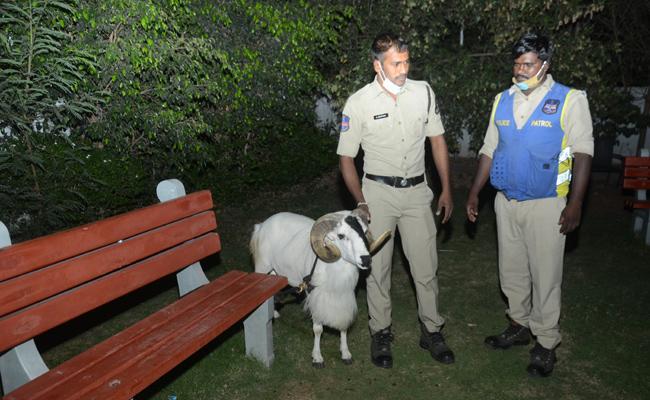 2 Sheeps Turned Into Headache For Banjara Hills Police - Sakshi