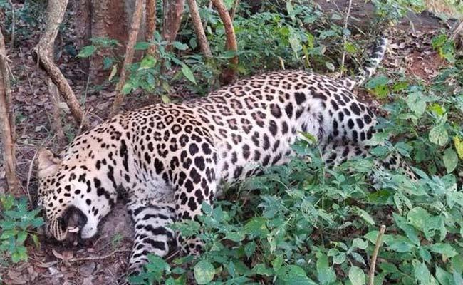 Kerala: Leopard Died In Road Accident - Sakshi