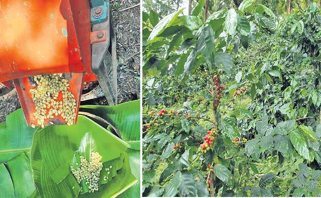 Demand For Visakha Manyam Coffee Beans - Sakshi