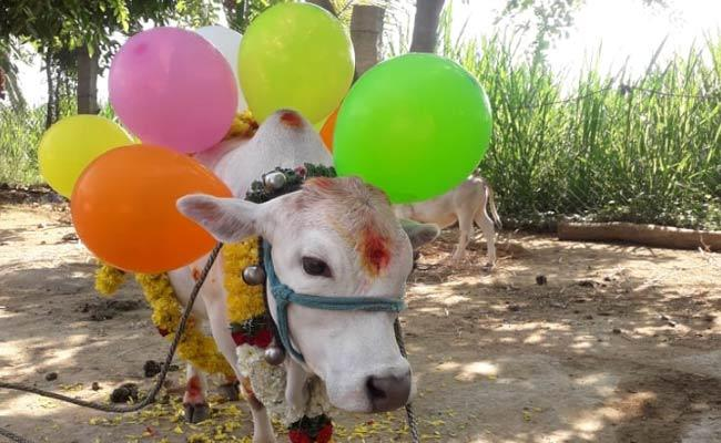 Cow Calf Birthday Celebrations In Chittoor District - Sakshi