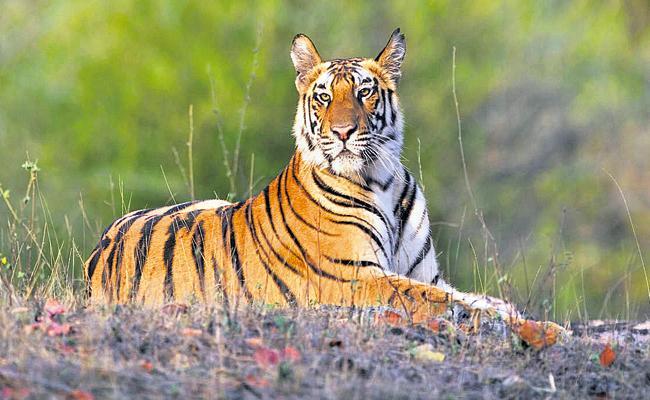 Expanding Srisailam Tiger Corridor - Sakshi