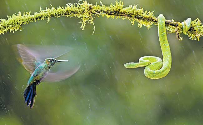 Hummingbird and Green Pit  Fighting Viral Photo - Sakshi
