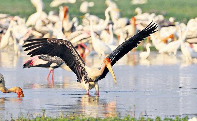 Decreased bird Wandering In Kolleru - Sakshi