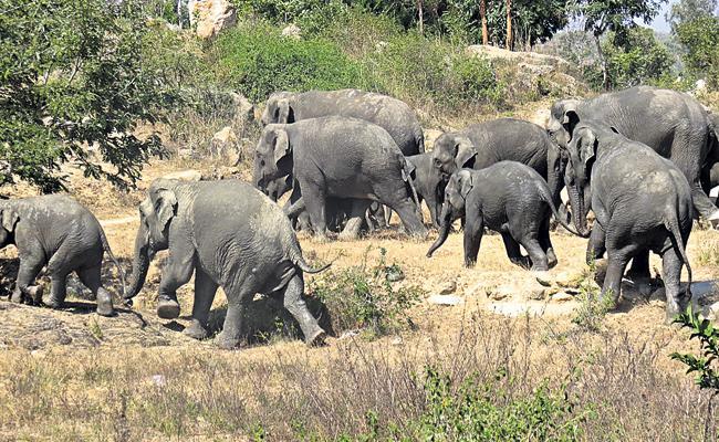 Elephants Attack on crop fields in villages - Sakshi