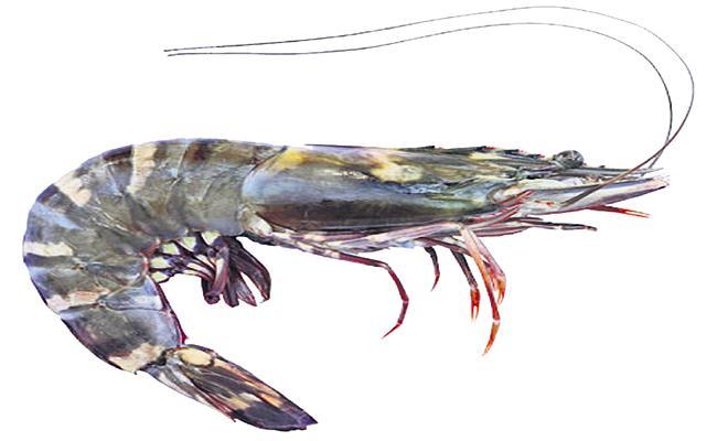 Stable shrimp prices in AP - Sakshi