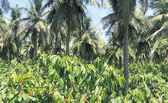 AP Government plans to increase cocoa cultivation acreage - Sakshi