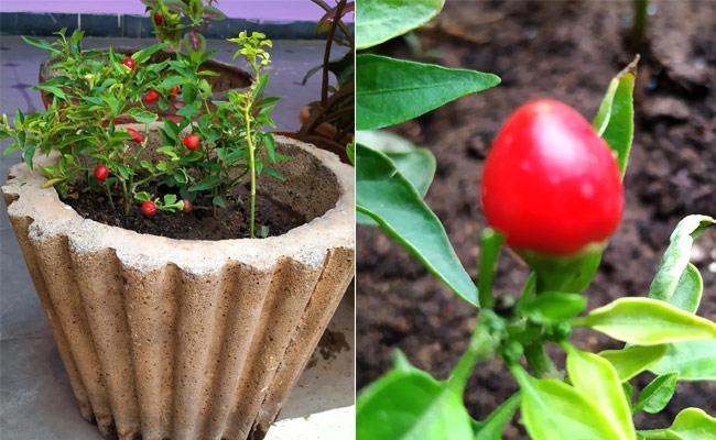 Mahabubnagar Man Grows Very Spicy Round Chilli In Hid Garden - Sakshi