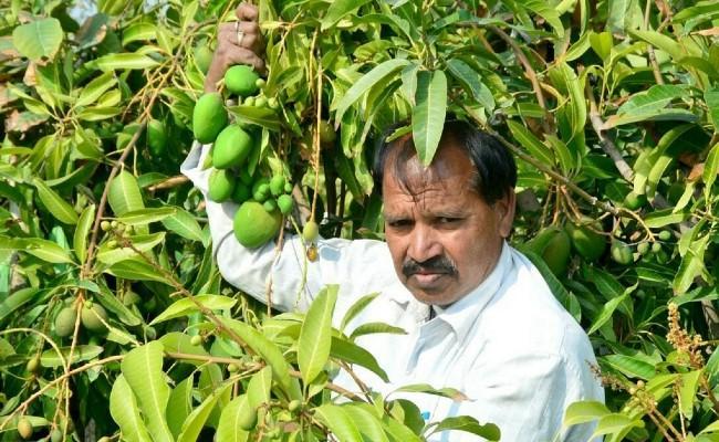 Mango production round the year, Kota farmer develops a new variety - Sakshi