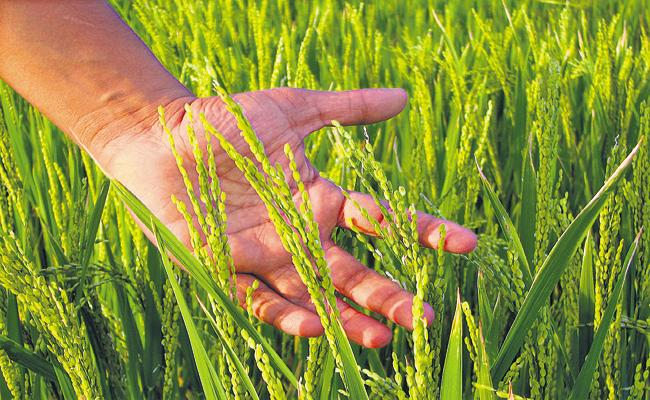 Rice yields to grow at record levels in AP - Sakshi