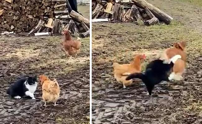 Chickens Team Up To Chase Off Cat When It Pounces on Them - Sakshi
