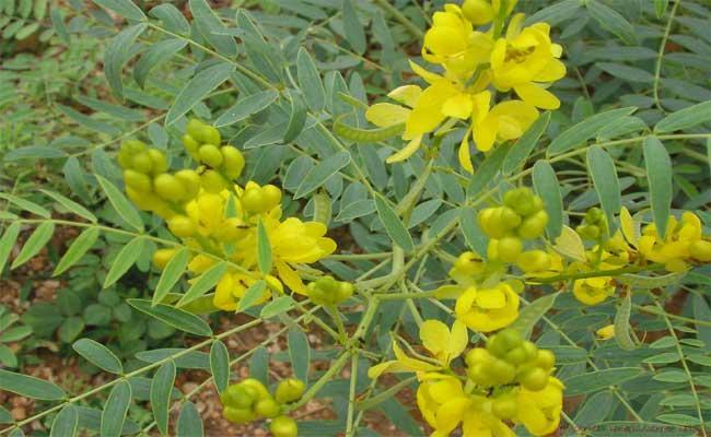 Senna Tea Benefits To Drink To Boost Digestive Tract - Sakshi