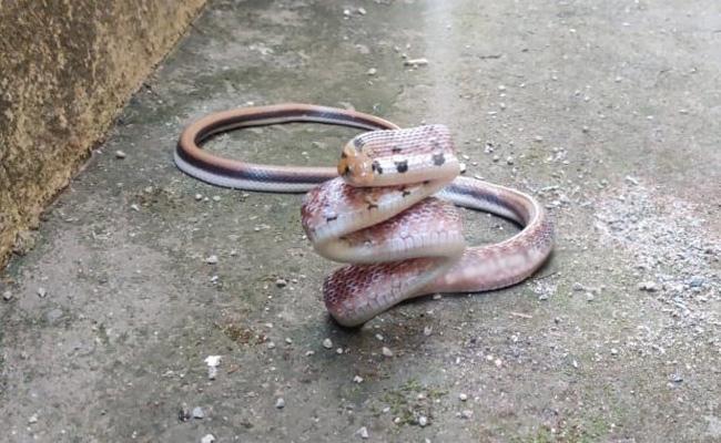 Rare Snake Found In karnataka - Sakshi