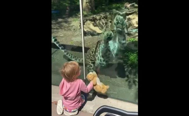 Leopard At A Zoo Reacts To A Little Girl And Her Doll Cat - Sakshi