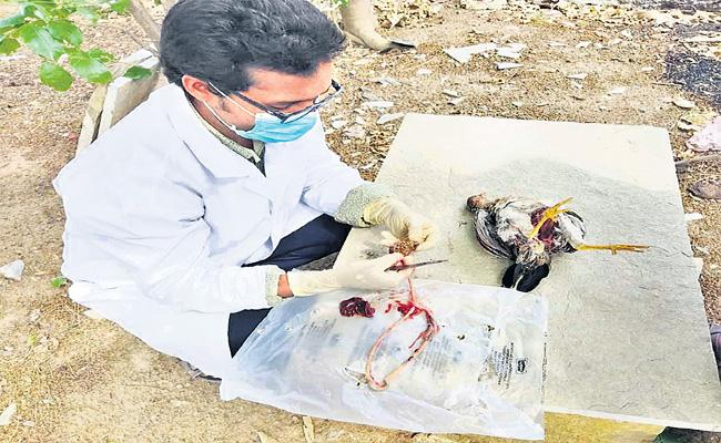 Veterinarians Solved Mystery Of Death Of Hundreds Of Chickens - Sakshi