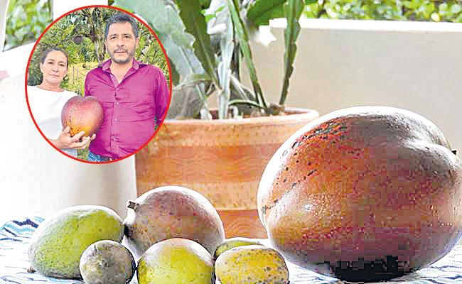 Local To Global Photo Feature in Telugu May 02 2021, Guinness World Record Big Mango - Sakshi