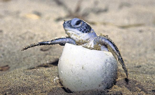Forest department officials took special measures to protect Olive Ridley - Sakshi