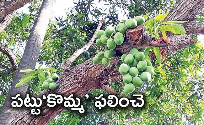 Edupugallu: Cut Tree Branches Fruiting Mangoes in Krishna District - Sakshi