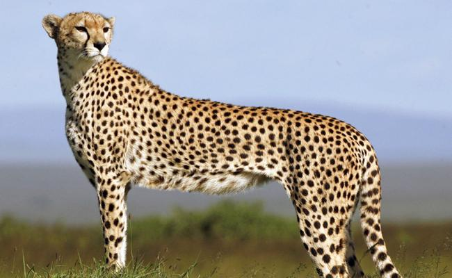 Cheetahs To Be Re Introduced In India - Sakshi