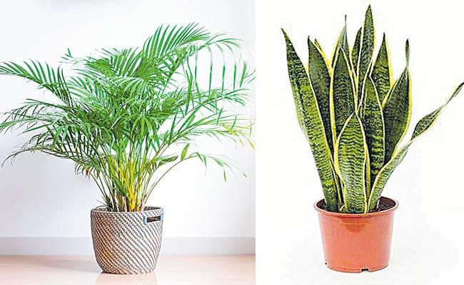 Air Purifying Plants For Your Home To Improve Air Quality - Sakshi