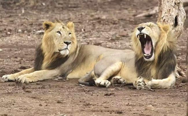 Nehru Zoo Park Staff Identified Eight Lions Have Coronavirus Symptoms - Sakshi