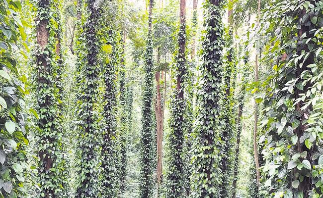 Pepper Cultivation is also grown in Visakha and becoming Competition to Kerala - Sakshi