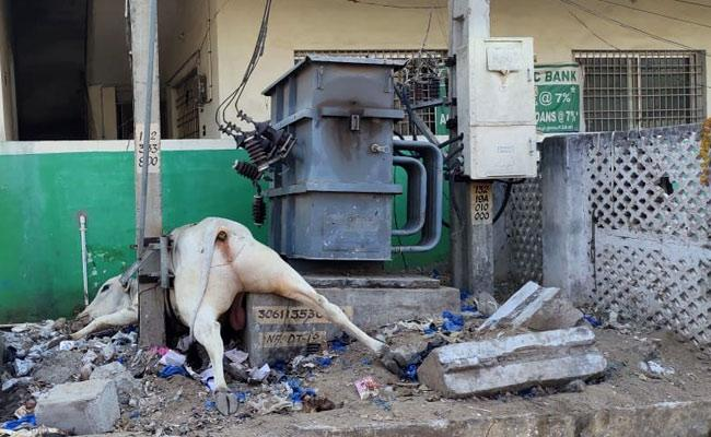 Two Cows Died Of Electric Shock In Kadapa - Sakshi