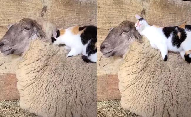 Cute Cat Doing Massage To His Sheep Friend  Video Goes Viral - Sakshi