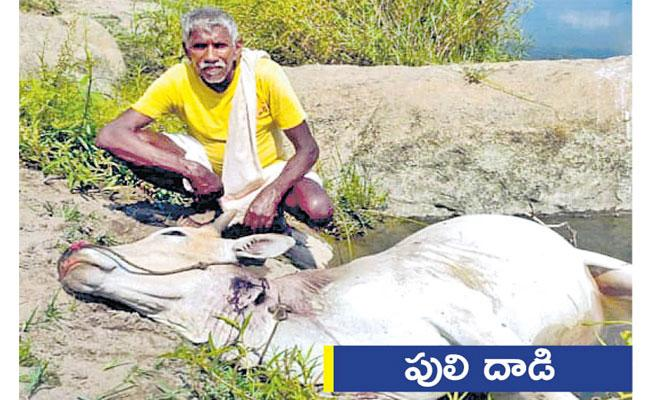 Local to Global Photo Feature In Telugu May 05 2021, Tiger Attack Cow - Sakshi