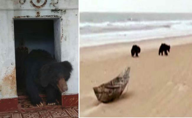Bears Hulchul In Uddanam And Coastal Areas - Sakshi