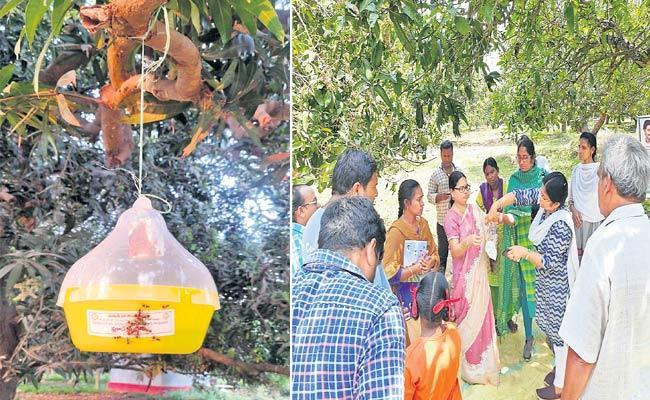 Fruit Fly Lure System In Mango Orchards - Sakshi