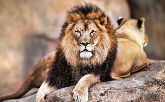 Tries To Save A Goat Lion Kills 35 Year Old Man In Gujarat - Sakshi