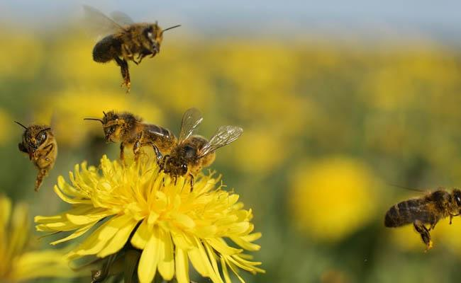 Bees in the Netherlands trained to detect COVID-19 infections - Sakshi