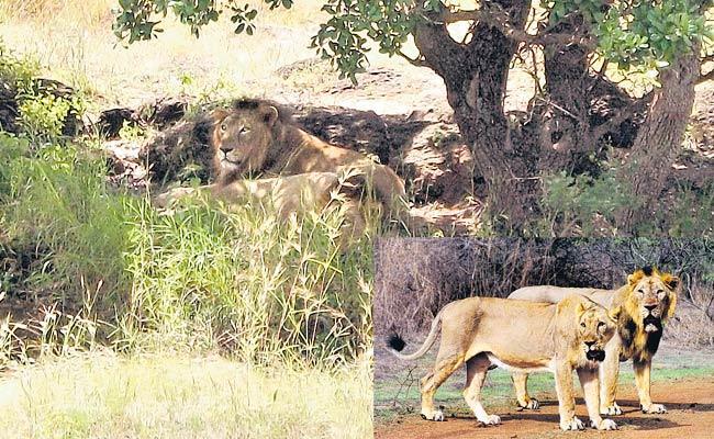 Travel: Sasan Gir National Park And Lions In Gujarat - Sakshi
